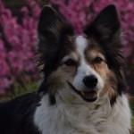 Hazel vor einem Kirschbaum
